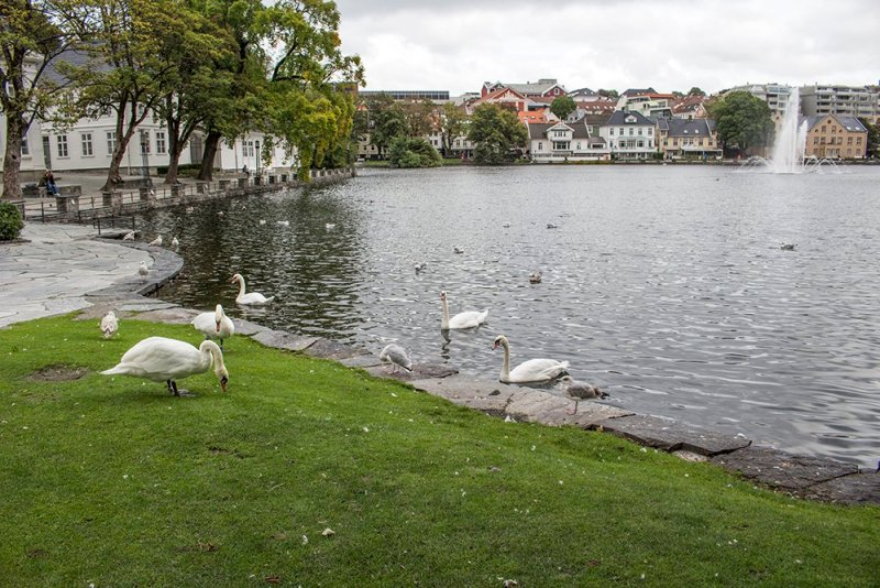 What to do in Stavanger in one day | Swans at Breiavatnet