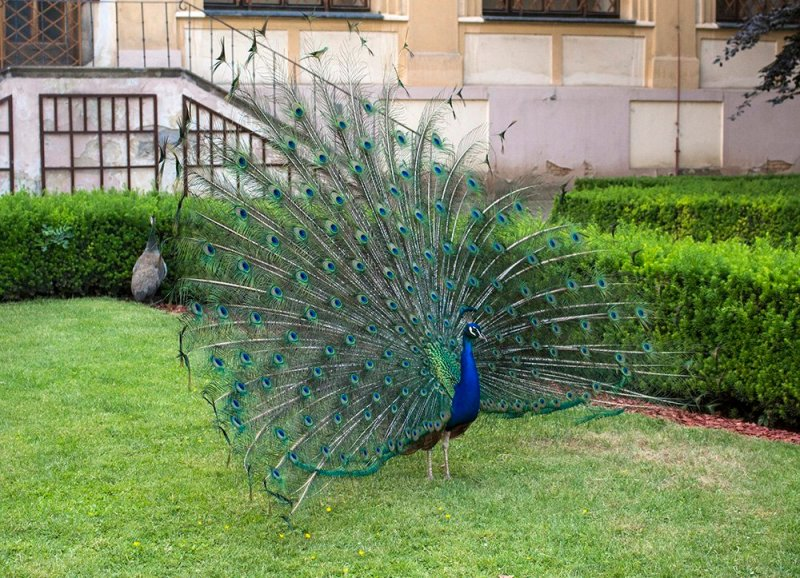 Prague sightseeing: my top 10 things to do in Prague | Peacocks in Vojanovy Sady