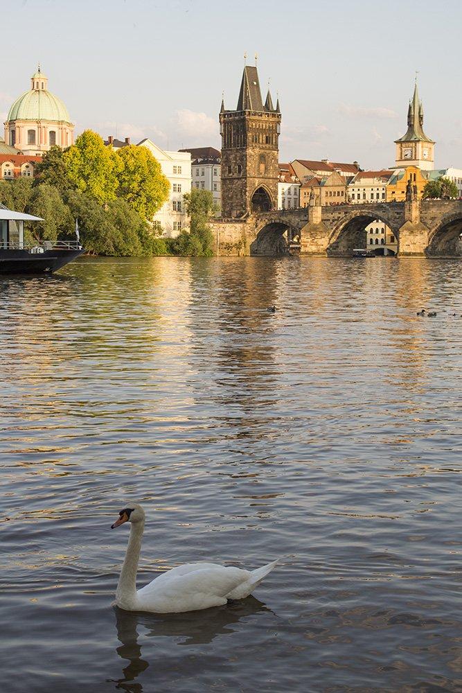 Лебедь и Карлов мост в Праге
