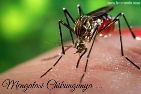 Gejala Chikungunya Solusi Moment