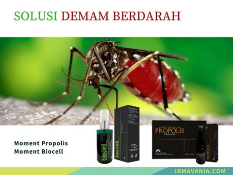 pengalaman kena demam berdarah solusi dbd propolis biocell