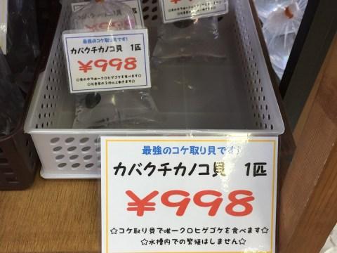 カバクチカノコ貝お高い
