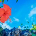 与那原町の町花:ハイビスカス