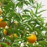橙 みかん 違い