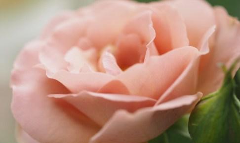 サウダージが開花
