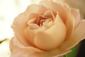 バラ『サウダージ』