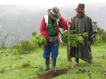 paysans en train de planter des pins