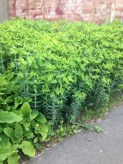 Euphorbia: 1' in winter to 6' in Summer.
