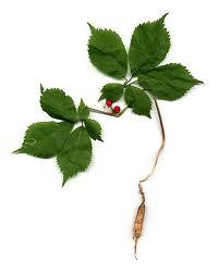 ginseng for athletes   -ginseng plant