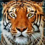 Tiger's Face Photograph Products