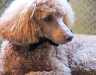 handsome Poodle