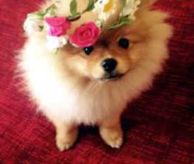 Pomeranian Puppy Wearing A Hat