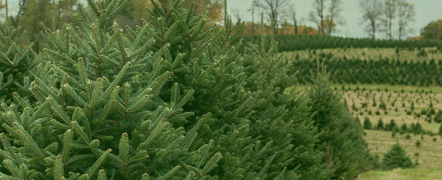Types Of Christmas Trees Grown In Pa