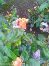 orange_rose_41