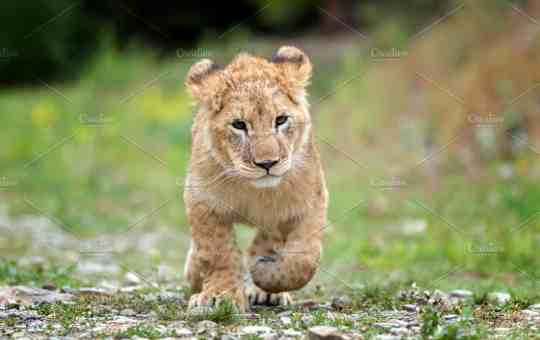 Lagos State Govt.Discovers Building With A Lion Cub As Security Guard (Photo)