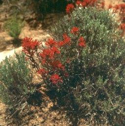 Wüstenblumen Südarizona