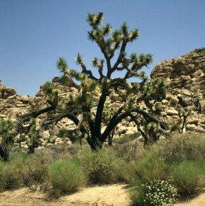 Joshua-trees nördl. Palmsprings 1986