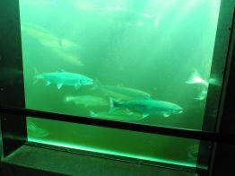 canada-seattle-Lachsstation108