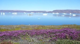 groenland-Thule-Blumen uns Eis 2007