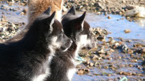 groenland-Schlittenhunde Nachwuchs 2007