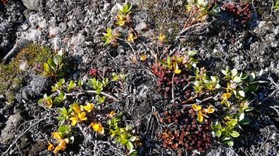 Grönland-Vielgestaltiger Pflanzenwuchs 2007
