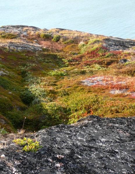 Grönland kurze Blütezeit 2007