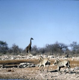namibia-etoscha-giraffe-zebras 1987