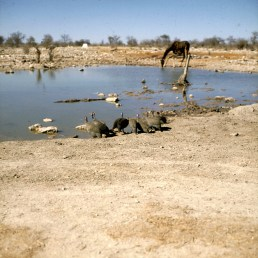 namibia-etoscha-giraffe 1987