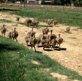 suedafrika-Straußenfarm 1987