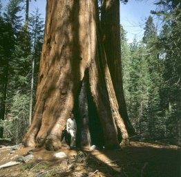 yosemite-park-Mammutbaum