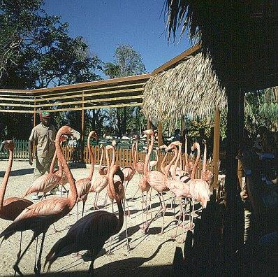 Bahamas-Flamingoshow