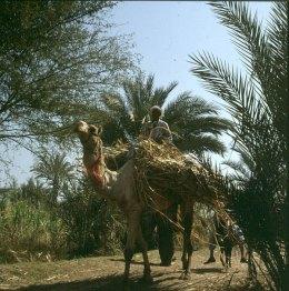 Volk Luxor Zuckerrohrernte