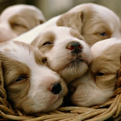 Cute Puppy Wallpapers   HD Backgrounds on the App Store Cute Puppy Wallpapers   HD Backgrounds 4