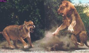 lionsfighting01