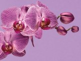 pantone-color-year-2014-radiant-orchid-18-3224