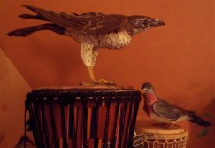 épervier et pigeon ramier