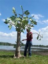 figuier mise en place des branches