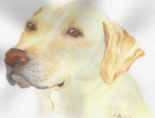 Watercolour Labrador, one of my first completed