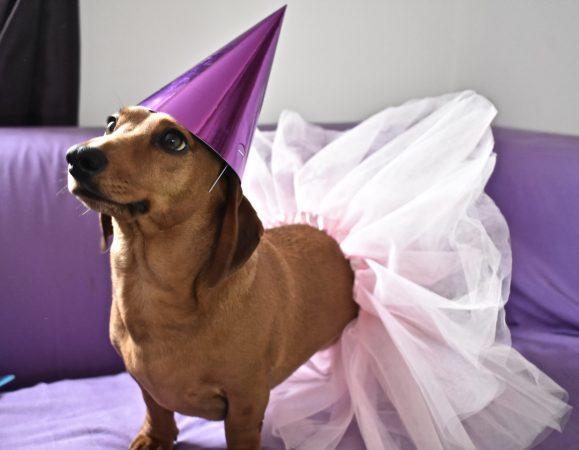Our Dachshund Ralph celebrating his birthday