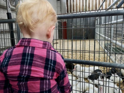cefn mably farm ducks
