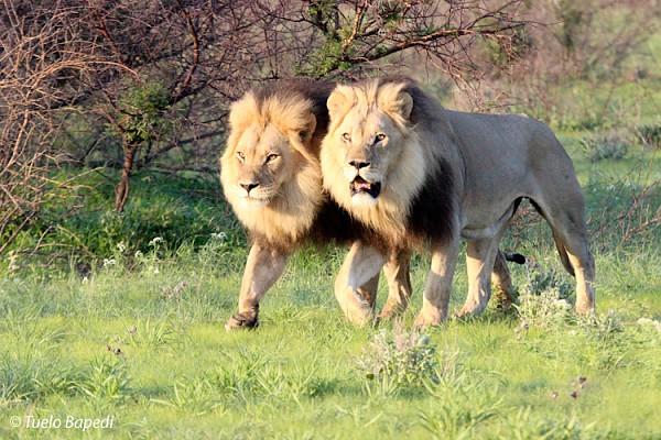 BlackManed Lion Drama in the Kalahari