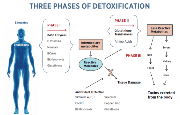 Phases of Detoxification