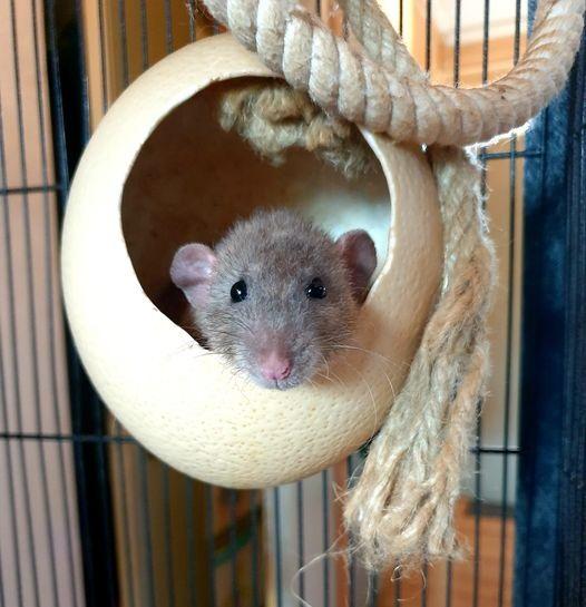 Ons ratjes, Krullie die slaapt in een struisvogel ei huisje van Egg Dreamer.