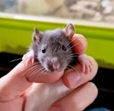 huisvesting van ratten
