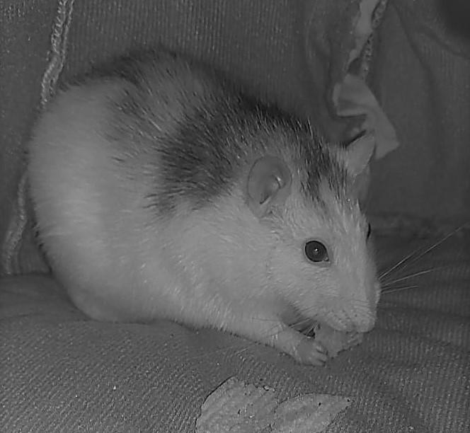 levensfases van ratten