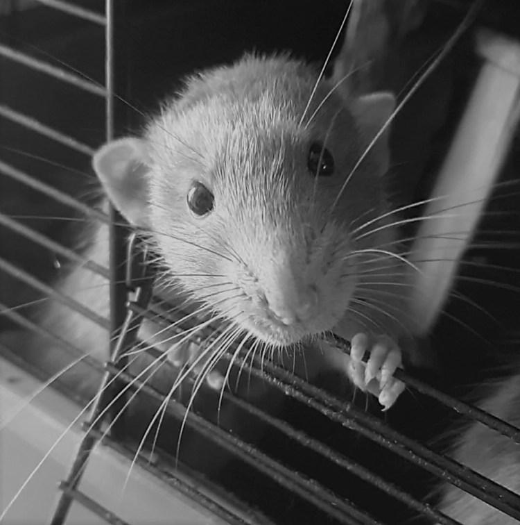 verkoudheid bij ratten