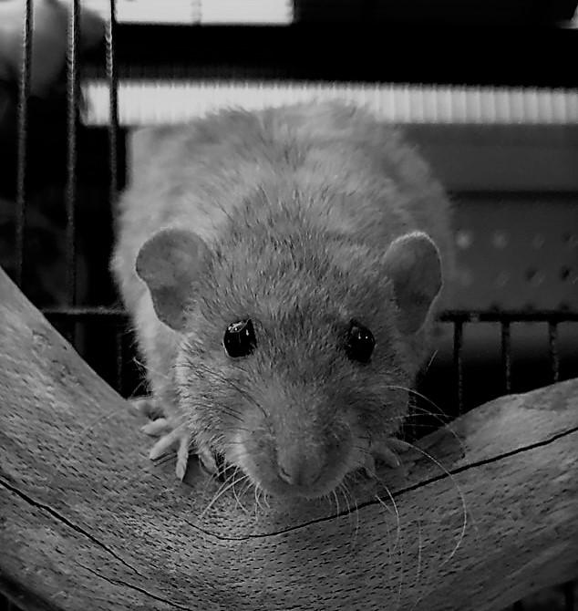 longontsteking bij ratten