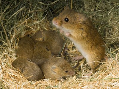 mouse with pups