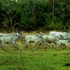 running cows, cattle, pantanal, wetland