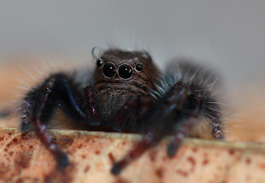 Salticidae Spider